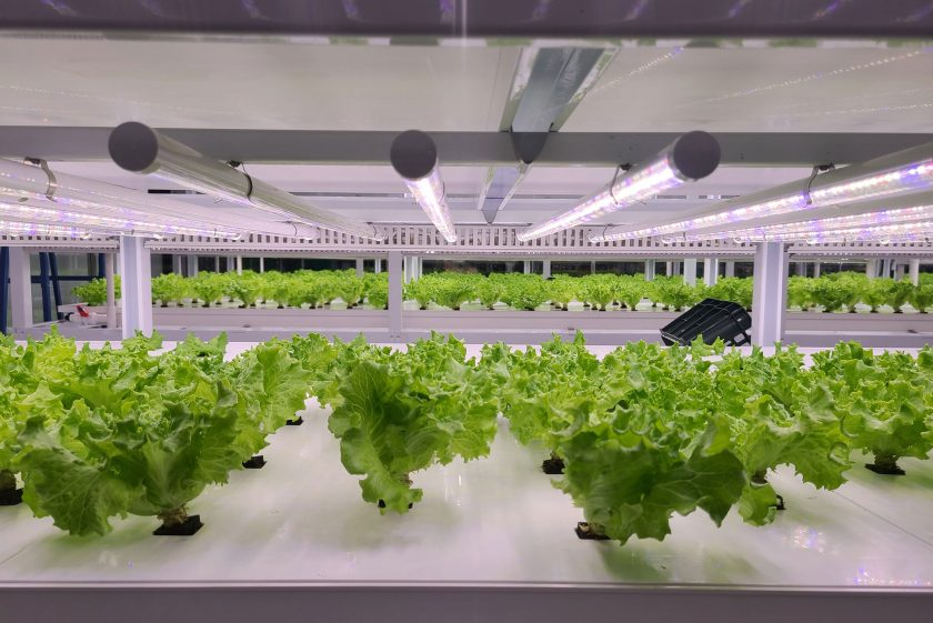 Lettuce growing inside indoor vertical farming production facility
